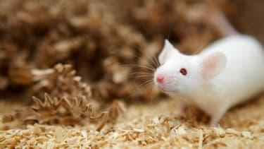 """Plus la souris est """"stimulée"""" par un environnement riche et """"intéressant"""", plus elle crée de nouveaux neurones, selon une étude parue dans la revue Sicence du 10 mai."""