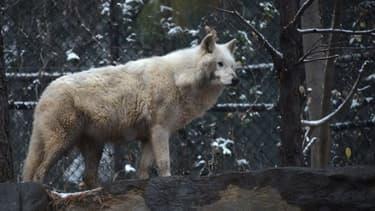Image d'illustration d'un loup blanc aux États-Unis, le 9 décembre 2017