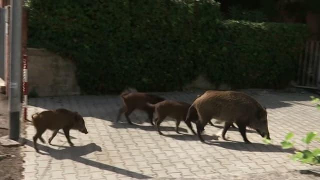 Une famille de sangliers dans les rues de Rome, le 23 septembre 2021.