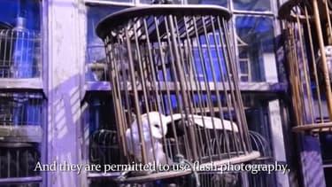 Extrait de la vidéo de Peta, montrant les conditions de vie des chouettes de l'exposition Harry Potter de Londres.