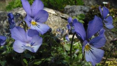 La violette de Rouen est une espèce endémique des éboulis instables de la vallée de la Seine et de la Haute-Normandie.