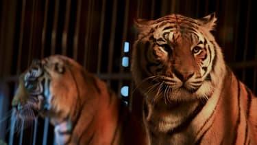 Des tigres dans un cirque (illustration). - Armend Nimani - AFP -