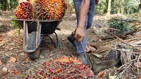 """Plantation dans les environs de Kuala Lumpur. Plusieurs grands industriels et distributeurs membres de l'association RSPO (Roundtable on Sustainable Palm Oil) ont augmenté récemment leurs achats d'huile de palme certifiée """"durable"""" face aux critiques visa"""