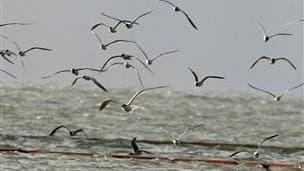 Barrages flottants au large des Iles de Chandeleur dans le Golfe du Mexique, au sud de la Louisiane. e gouvernement américain intensifie ses efforts pour prévenir une catastrophe environnementale qui pourrait coûter des milliards de dollars après qu'une g