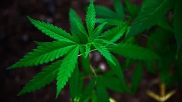 Des plants de cannabis ont été retrouvés (photo d'illustration)