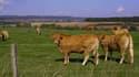 Des vaches errantes abattues par l'État dans les Pyrénées-Orientales