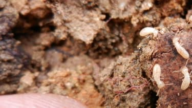 Le termite de Formose (Coptotermes formosanus) apparaît comme l'un des insectes invasifs les plus destructeurs.