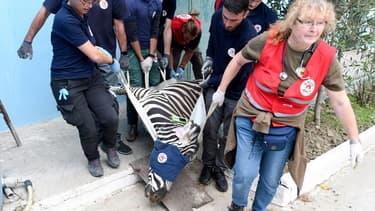 """Un zèbre du """"zoo de l'enfer"""" évacué ce dimanche 28 octobre."""