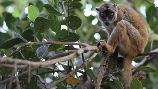 Les makis, de la famille des lémuriens devra être protégé et nourri à Mayotte.