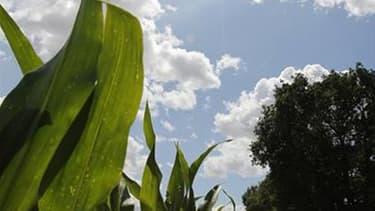 Champ de maïs à Montbert, dans l'ouest de la France. Selon les prévisions du ministère de l'Agriculture, le revenu moyen des exploitations agricoles chute légèrement de 3,6% en 2011, année marquée par une sécheresse historique au printemps et par la crise