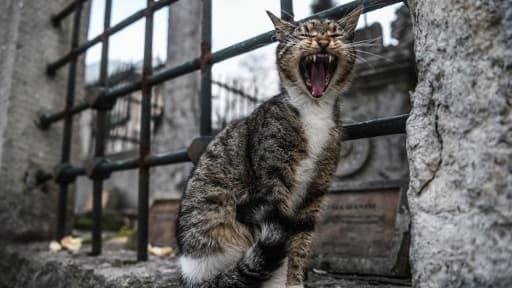 Le chat, très âgé, a pris peur et griffé le petit-fils et sa grand-mère. (photo d'illustration)