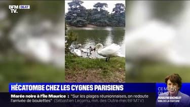 Une dizaine de cygnes retrouvés morts au bois de Boulogne depuis le début de l'été