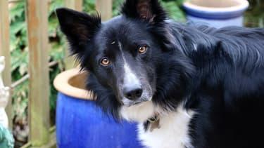 Le propriétaire de Typhon, un chien de race border collier, a été condamné par le tribunal de Pontoise pour des faits de maltraitance.