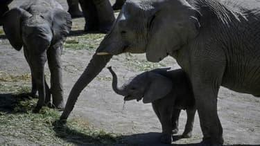 Des éléphants africains dans une réserve de Puebla, près de Mexico, le 27 janvier 2021.