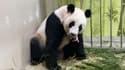 Jia Jia, une femelle panda géant de 12 ans, tient son nouveau-né dans la gueule, samedi 14 août 2021 au zoo de Singapour