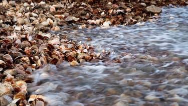Selon l'Ifremer, les populations de coquilles Saint-Jacques ont battu un record historique cet automne en Normandie et en Bretagne