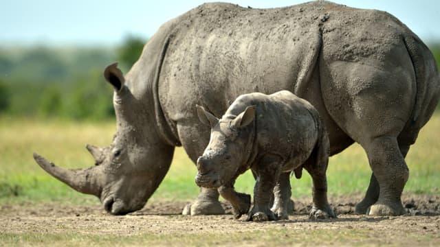 Rhinocéros au Kenya. (Illustration)