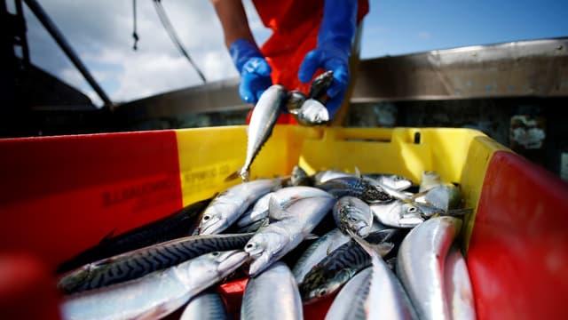 En 2013-2015, les navires de l'Union européenne ont pêché en moyenne 656.000 tonnes de poissons dans les eaux britanniques, principalement du maquereau, du hareng, du lançon et du merlan bleu.