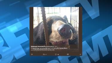 L'ours Nyan htoo a pu être opéré par une vétérinaire britannique.