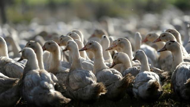 La France recense 409 foyers de grippe aviaire dans ses élevages, dont l'immense majorité dans le Sud-Ouest
