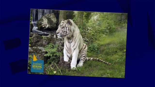 Le tigre blanc était sous traitement depuis 2015.