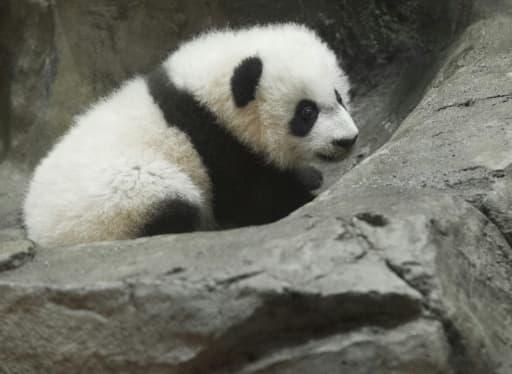 L'engouement pour Bei Bei est alimenté par sa présence en ligne -une caméra le filme en permanence