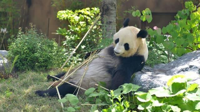 Photo fournie le 4 juin 2021 de la femelle panda géant Shin Shin le 10 mai 2021 au zoo d'Ueno à Tokyo.