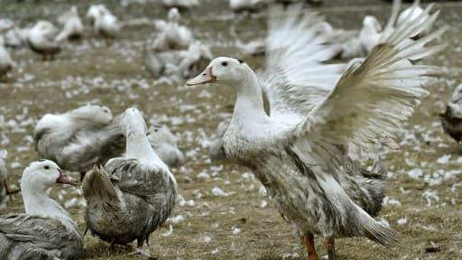 Des canards confinés dans une exploitation de Bourriot-Bergonce, dans les Landes, le 22 février 2017
