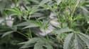 Des feuilles de marijuana.