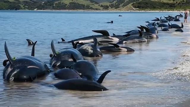 Des baleines échouées à Farewell Spit, en Nouvelle-Zélande, le 11 février 2017.