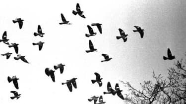 Les pigeons reviennent à l'attaque en ce début 2013, armés de chiffres...