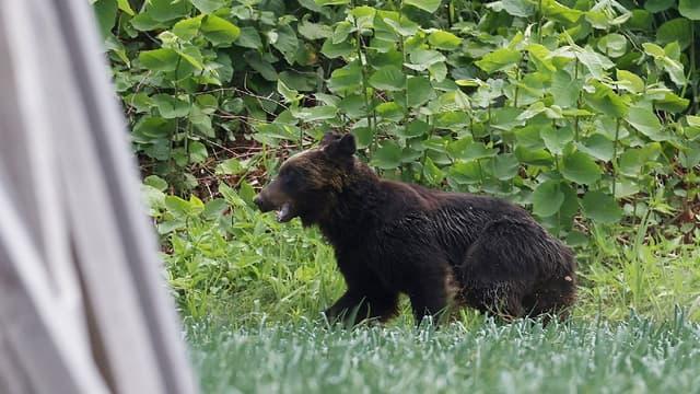 La police a identifié un ours comme le coupable d'une série d'effractions de voitures aux États-Unis (photo d'illustration)