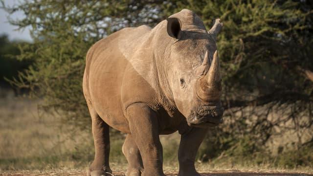 Un touriste chinois a été arrêté en Afrique du Sud. Il transportait 43 kilos de cornes de rhinocéros. (Photo d'illustration)
