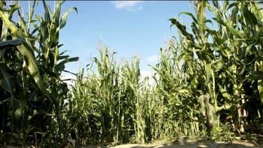 Le maïs OGM TC1507 du groupe américain Pioneer, va être autorisé à la culture dans l'UE.