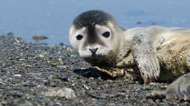 Un bébé phoque a été retrouvé sur une plage de l'île de Noirmoutier - Jeudi 7 janvier 2016 - Photo d'illustration