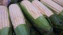 Maïs destiné au marché américain. Aux Etats-Unis, la culture du maïs transgénique est autorisée.