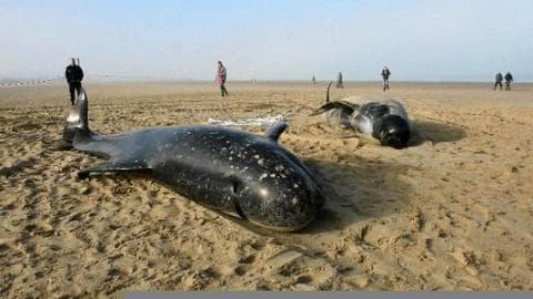 Dix baleines échouées sur la plage de Calais