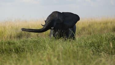 Un éléphanteau joue dans la rivière Chobe au Botswana, le 20 mars 2015. (Photo d'illustration)