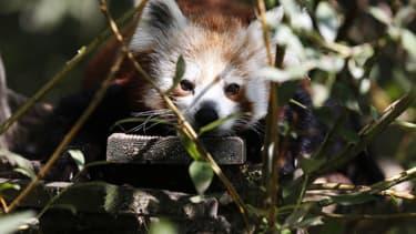 Un panda roux au zoo Biotropica à Val-de-Reuil, le 28 août 2018. (Photo d'illustration)