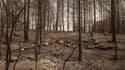 Troupeau de brebis décimé par les flammes sur l'île d'Eubée.