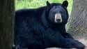 Un ours noir du parc animalier de Thoiry. (illustration)