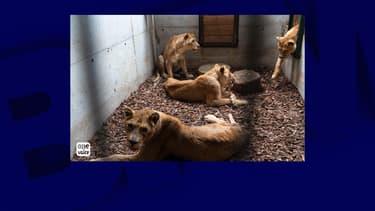 Les quatre lionnes saisies par la préfecture de l'Eure mardi 7 juillet