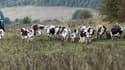"""Les émissions de méthane issues du bétail """"ont crû plus fortement que prévu"""" indiquent des scientifiques. (image d'illustration)"""