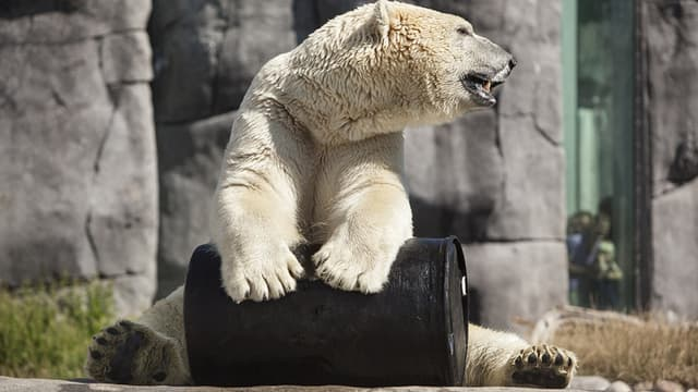 L'ourse polaire devait être transférée en Angleterre pour son climat plus frais et plus adapté.