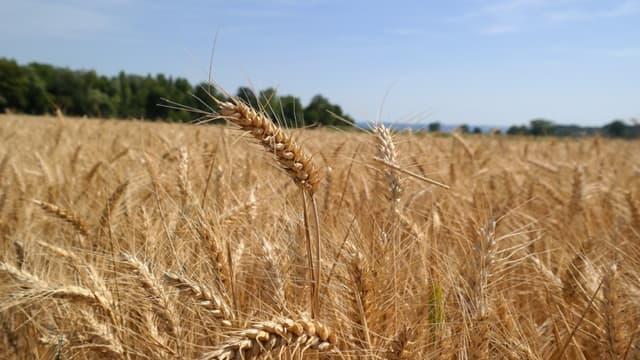La récolte 2015, considérée comme exceptionnelle, avait atteint les 41 millions de tonnes.