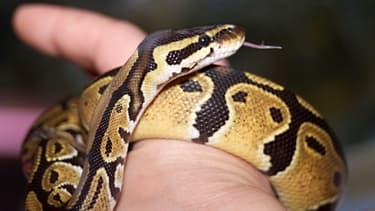 Le python royal est un serpent constricteur qui étouffe ses proies pour en venir à bout.