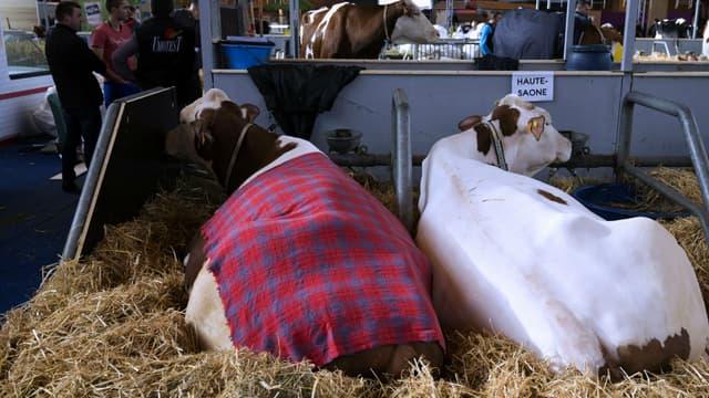 Des vaches au Salon de l'Agriculture le 24 février 2017 (photo d'illustration)