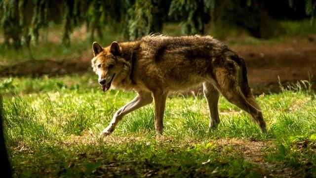 Loup du parc zoologique de la Bourbansais en France le 15 juillet 2015.