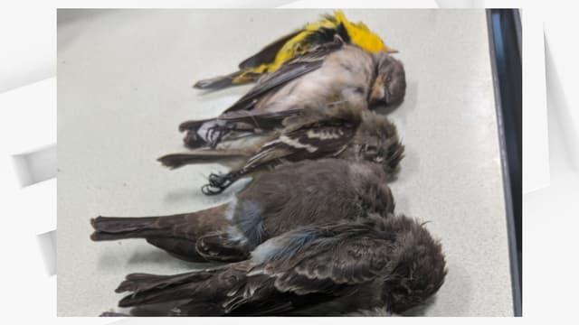 Les scientifiques n'ont aucune certitude sur les causes de la mort de milliers d'oiseaux au Nouveau-Mexique ces dernières semaines.