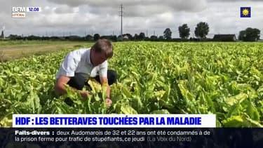 Betteraves ravagées par un puceron vert: les agriculteurs réclament le retour d'un insecticide